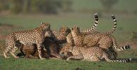 В кенийском национальном заповеднике Масаи Мара живет удивительная группа гепардов: два брата объединились с двумя другими братьями и включили в свою компанию еще одного ровесника.