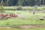 В национальном заповеднике Гранд-Титон в штате Вайоминг (США) олененок стал добычей медведя гризли.