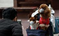 Мужчина фотографирует собак в масках в коляске в Китае. Архивное фото