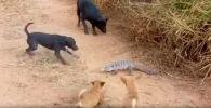 Бой маленького варана с четырьмя псами — одного он чуть не покалечил. Видео