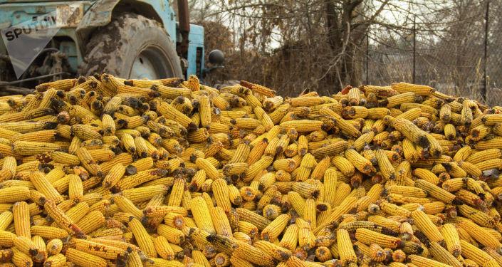 Вываленная кукуруза на ферме Константина Якименко в селе Петровка Московского района