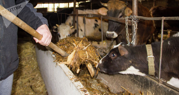 Подача силоса коровам на ферме Константина Якименко в селе Петровка Московского района
