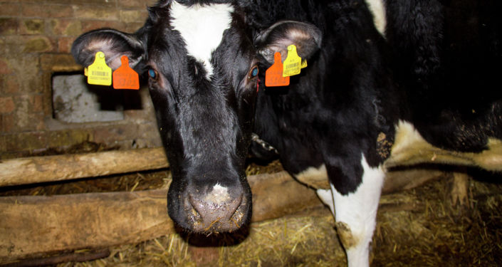 Корова на ферме Константина Якименко в селе Петровка Московского района
