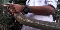 Таиланд шаарында кош бойлуу аялды жанына сойлоп келген төрт метрлик кобрадан кошунасы сактап калган.