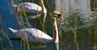 Лебеди в парке. Архивное фото