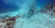 Возле побережья острова Бали в Индонезии дайвер стал очевидцем непродолжительной охоты акулы на осьминога.