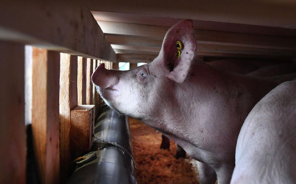 Погрузка свиньи в самолет для транспортировки в Китай