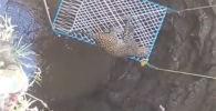 В Индии спасательная операция по извлечению из колодца леопарда едва не закончилась трагедией — хищник напал на двух мужчин.