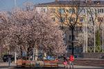 Люди проходят у цветущего абрикосового дерева в Бишкеке