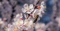 Пчела на цветке абрикосового дерева в Бишкеке. Архивное фото