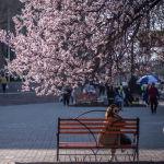 Бишкектеги өрүк бактар совет убагында отургузулган