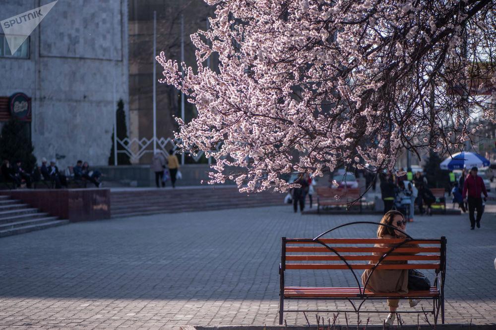 Девушка сидит на скамейке у цветущего абрикосового дерева на площади Ала-Тоо в Бишкеке
