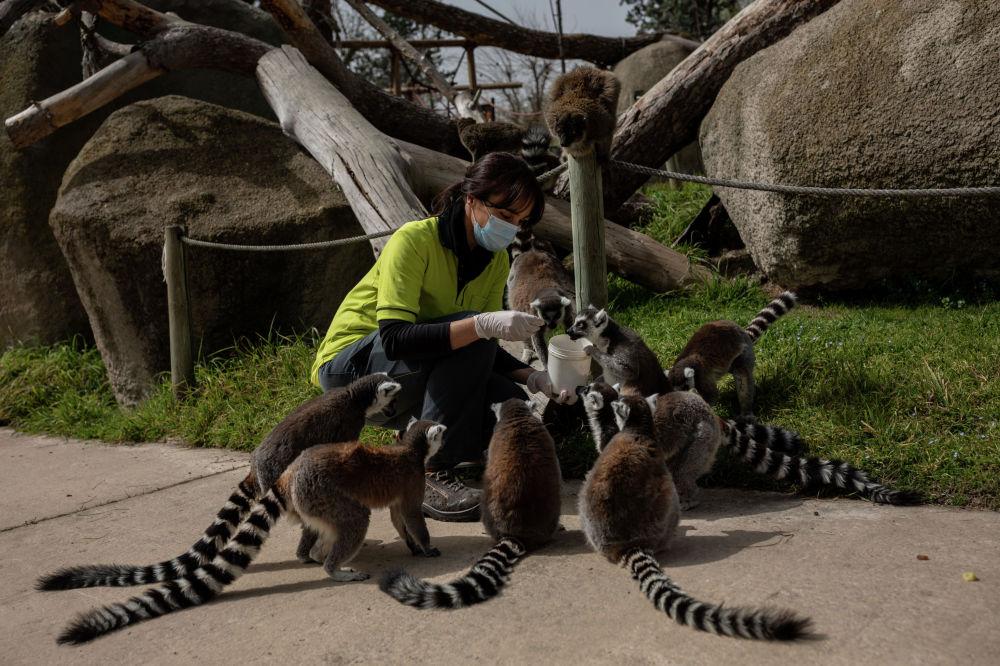 Сотрудница кормит лемуров в Мадридском зоопарке (Испания)