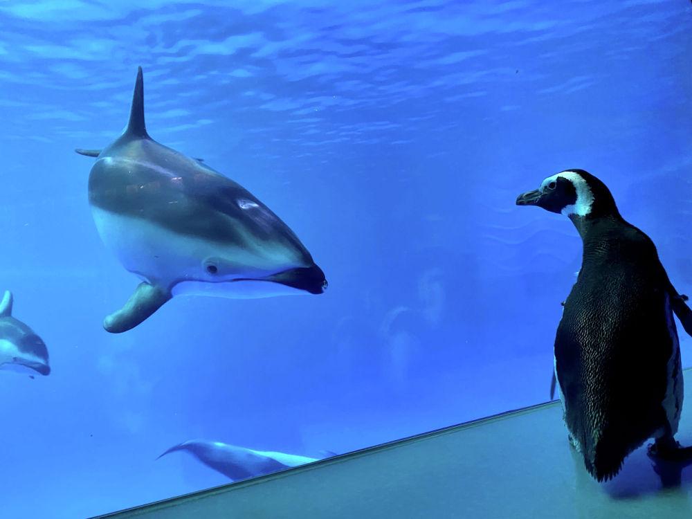 Пингвин смотрит на дельфинов в Аквариуме Шедда в Чикаго (США). 15 марта 2020 года