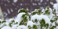 Снег на ветви дерева. Архивное фото