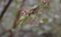 Покрывшийся снегом цветок дерева. Архивное фото