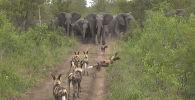 Посетители Национального парка Крюгера в ЮАР стали свидетелями необычного противостояния группы гиеновидных собак и стада слонов на лесной тропе.