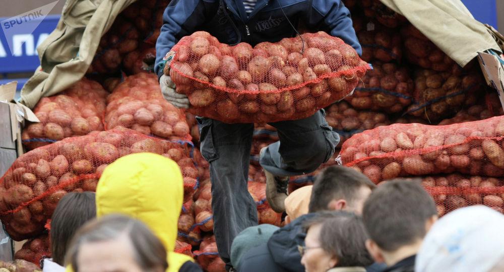 Картошка түшүрүп жаткан адам. Архив