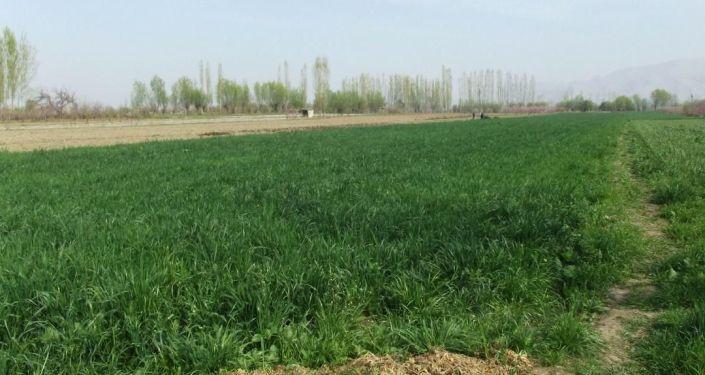 Урожай чеснока в Араванском районе Ошской области