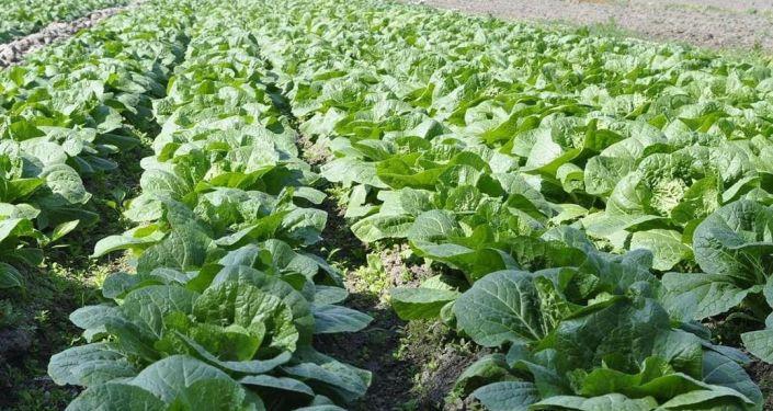 Урожай капусты в Араванском районе Ошской области