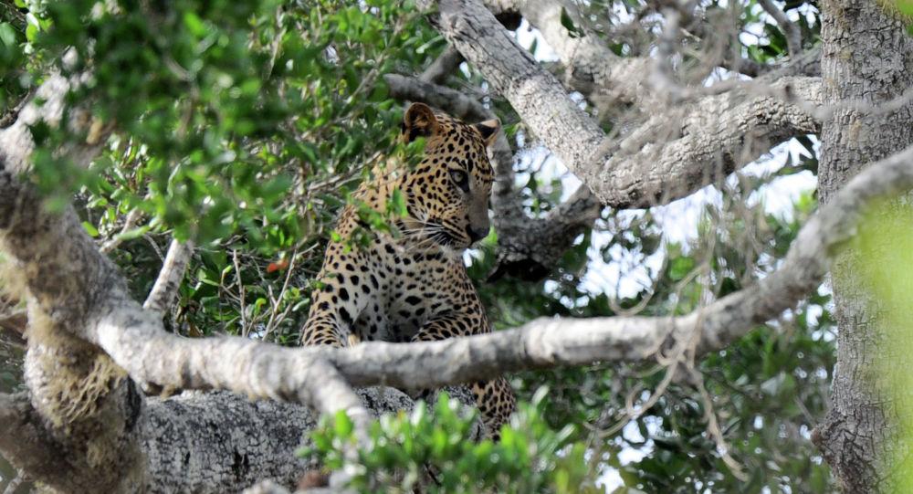 Леопард сидит на дереве в национальном парке Яла в южном районе Яла в Шри-Ланке