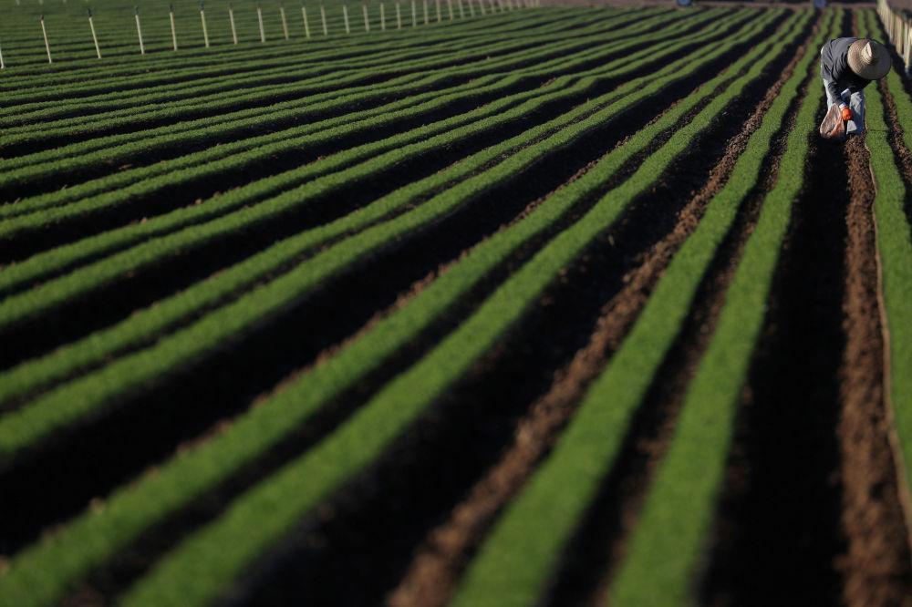 Фермер чистит от сорняков посевы морковки на ферме в Калифорнии (США). 3 апреля 2020 года