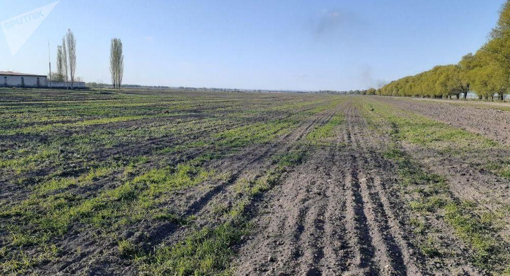 Поле яровой пшеницы