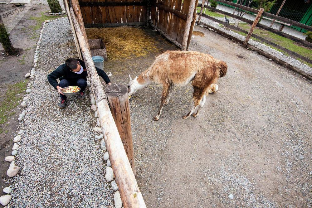 Смотритель кормит ламу фруктами.