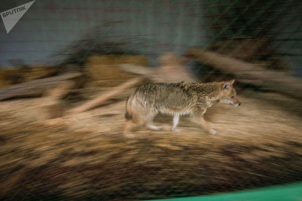 Шакал гуляет по вольеру. Трудности у зоопарка начались после введения ЧП в Бишкеке.
