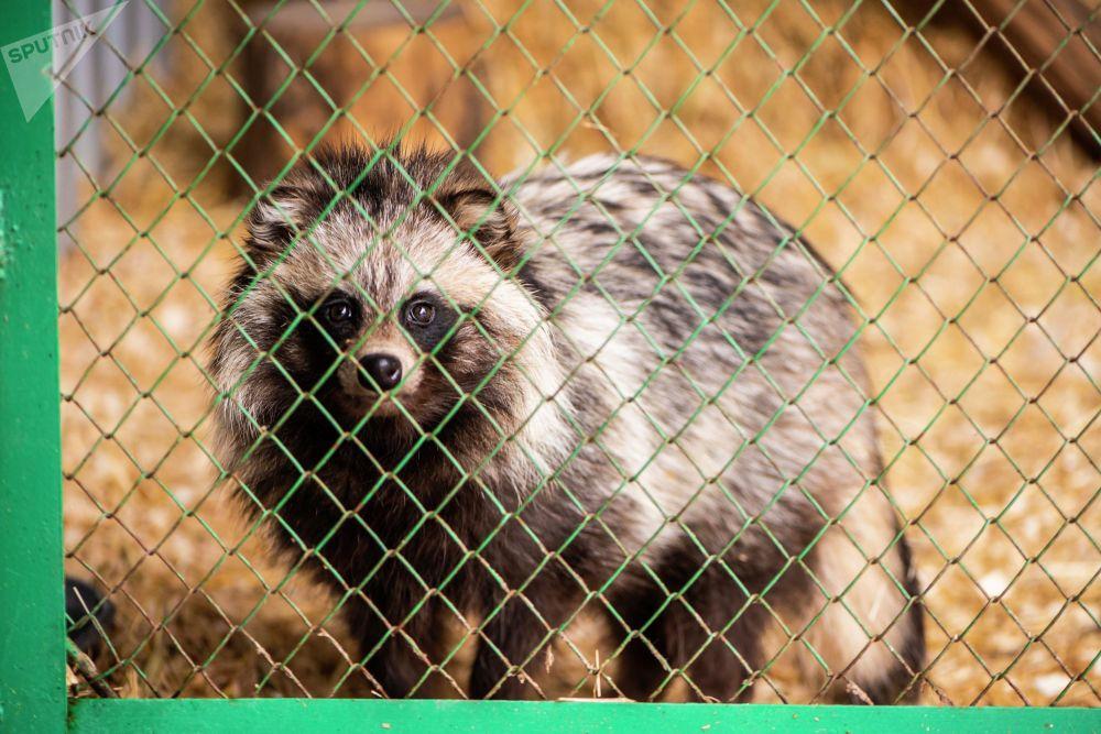 Енот в реабилитационном зоопарке Zoobishkek в парке Асанбай в Бишкеке