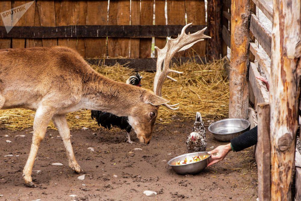 Олень в реабилитационном зоопарке Zoobishkek в парке Асанбай в Бишкеке