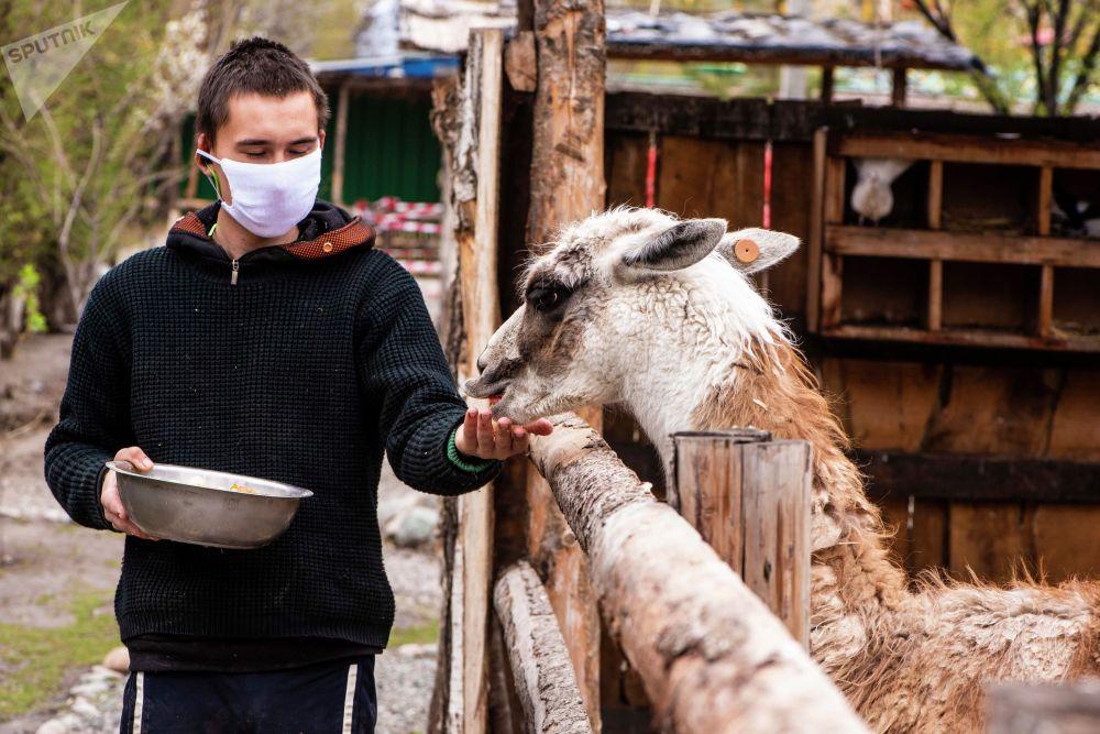 Сотрудник реабилитационного зоопарка Zoobishkek кормит ламу в парке Асанбай в Бишкеке