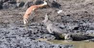 Посетители южноафриканского заповедника Крюгера стали очевидцами того, как антилопа избежала пасти крокодила, пытаясь утолить жажду в заболоченном водоеме.