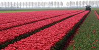 Тюльпановое поле в Нидерландах. Архивное фото