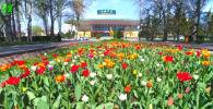 Весенние цветы радуют глаз палитрой ярких красок. В этом году на клумбах столицы выросли 185 тысяч тюльпанов десяти сортов.
