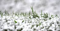 Трава под снегом. Архивное фото