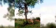 Посетитель южноафриканского заповедника Крюгера снял на видео хищников, попытавшихся лишить леопарда добычи.
