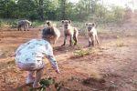 Двухлетняя Кики Волхутер из Зимбабве подружилась со стаей гиен, живущих в заповеднике. Гиены для нее, как щенки, признался отец.