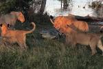 Группа хищников оставила у водопоя растерзанную ими тушу водяного козла и осталась отдыхать недалеко от воды.