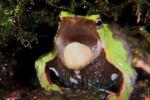 У лягушек Дарвина, обитающих в лесах Аргентины и Чили, оригинальный способ производить на свет потомство.