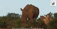Түштүк Африкадагы улуттук Крюгер паркынан арстандын томсоруп кала берген учуру туристтердин көңүлүн бурганын байкоого болот.