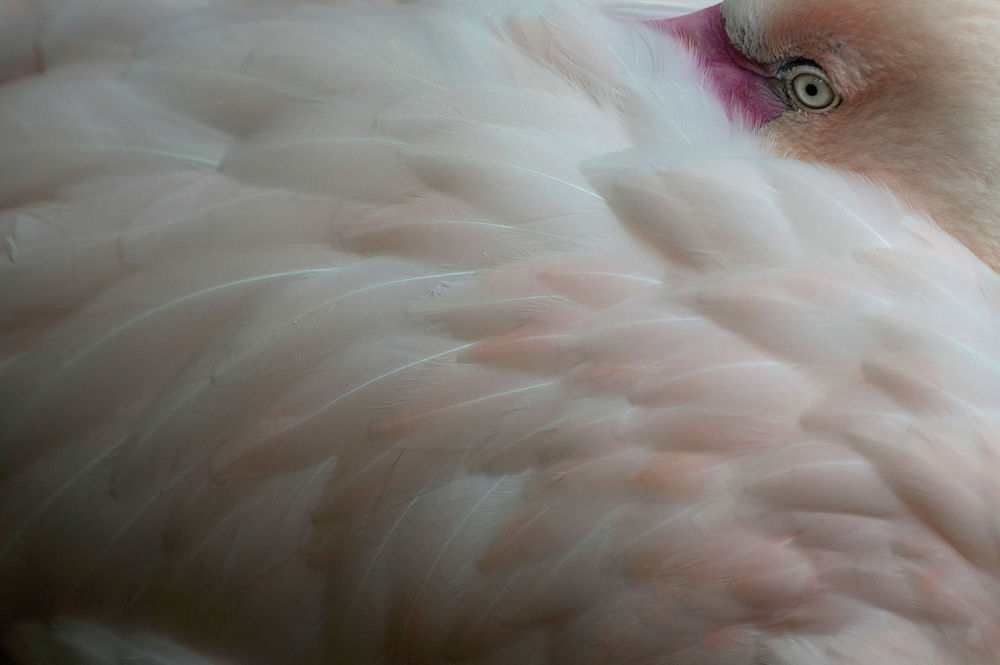 Фламинго в зоопарке Фуэнхирола в Испании