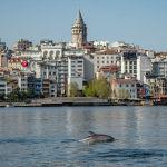 Дельфин плавает в проливе Босфор у Галатской башни в Стамбуле (Турция)
