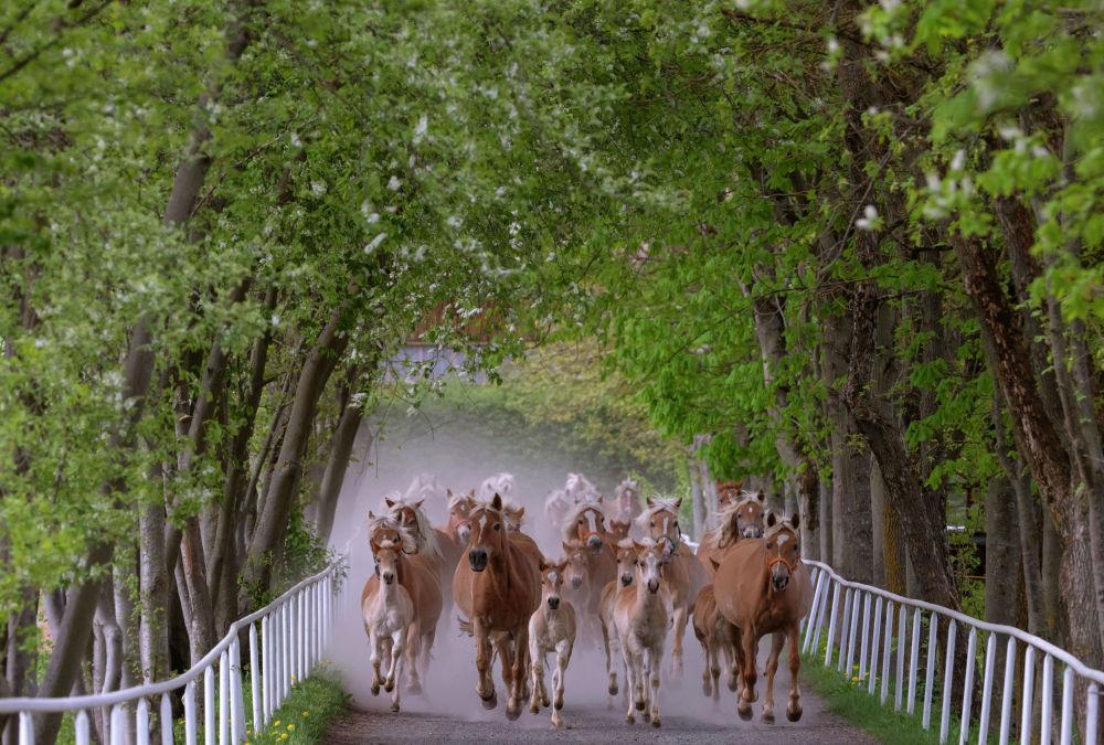 Лошади породы Хафлингер на ферме в Меуре (Германия)