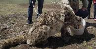 В Нарыне поймали снежного барса, сообщила пресс-служба Госагентства охраны окружающей среды и лесного хозяйства.