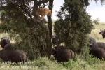 В национальном заповеднике Найроби в Кении турист Николас Урлачер стал очевидцем, как львица, пытавшаяся охотиться на буйволов, сама едва не стала их жертвой.