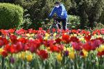 Велосипедист в лицевой маске проезжает мимо цветущих тюльпанов в центре Бишкека на фоне пандемии коронавируса COVID-19. 20 апреля 2020 года