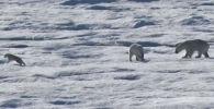 Участники арктической экспедиции National Geographic стали свидетелями шокирующего случая, в котором взрослый белый медведь съел детеныша.