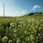 Цветочное поле на окраине Бишкека в Чуйской области