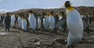 Видео снято на субантарктическом острове Южная Георгия. Кадры записаны роботами-шпионами под личинами взрослого пингвина, его птенца и птицы-дрона.